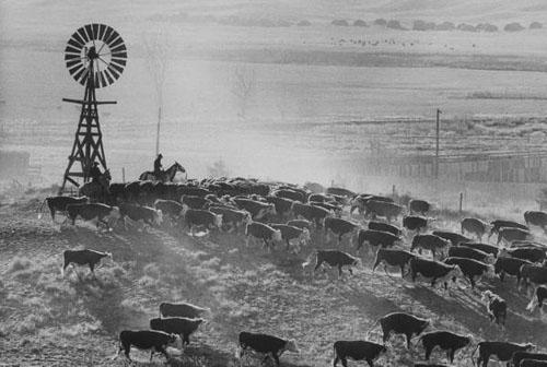 Cattle Round-up, South Dakato, 1960<br/>
