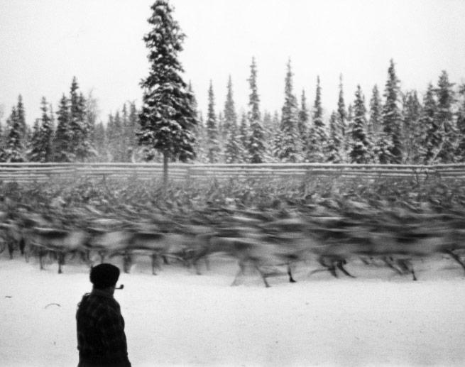 Russo-Finnish Winter War (1939-40), Reindeer being herded, Finland, 1940 Gelatin Silver print